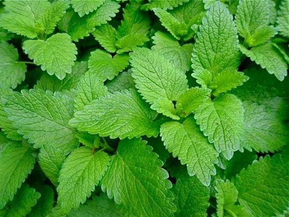 lemon-balm calming-herb in chill-tonic