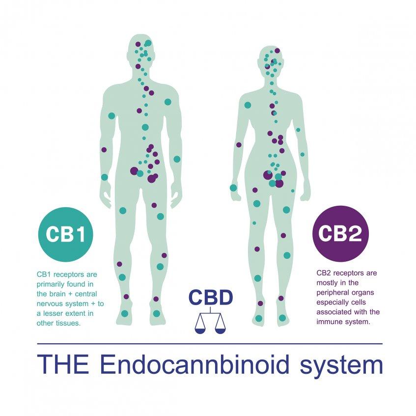the endocannabinoid system cb1-receptors cb2-receptors