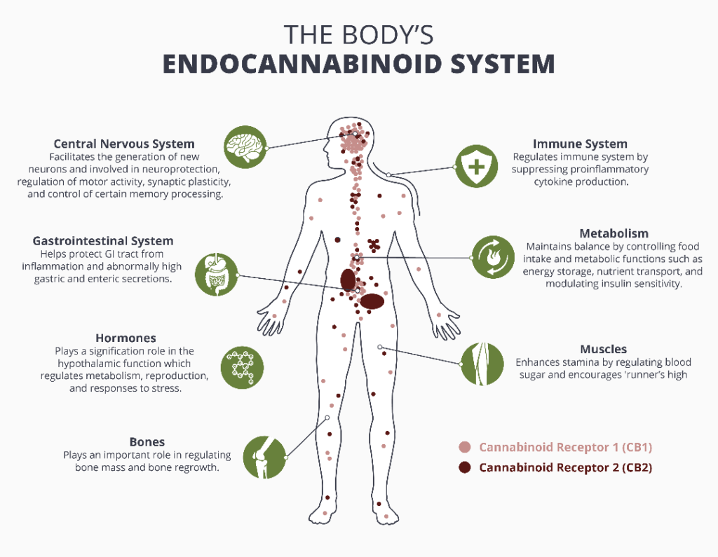 the endocannabinoid system cb1 and cb2 receptors and how cbd works